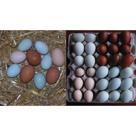 Kuluçkalık - Süs tavuk yumurtası